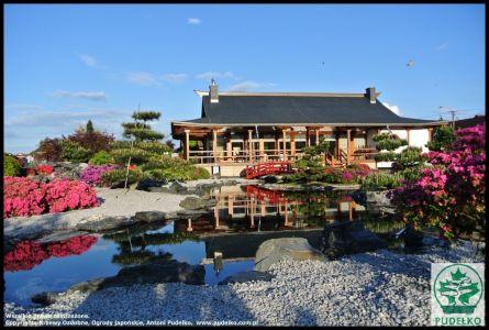 Azalia-Ogrod-japonski-Pisarzowice-Pudelko-kwitnace-azalie-maj-bonsai
