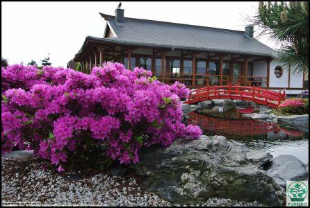 Azalia Kwitnaca Ogród Pisarzowice