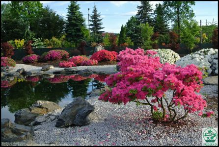 Azalia-kwitnaca-ogrod-japonski-Pisarzowice-Pudelko-szkolka-rosliny