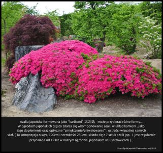 Karikomi-azalia-japonska-Ogrod-japonski-Pisarzowice-bonsai
