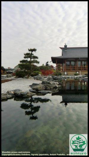 Sosna-bonsai-ogrod-japonski-Pisarzowice-3