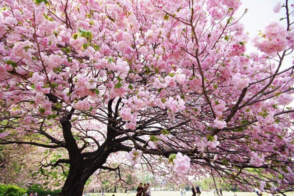 sakura-with-readyclickandgo