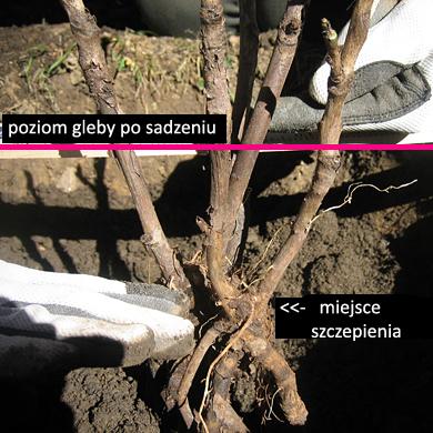 glebokosc_sadzenia_piwonii