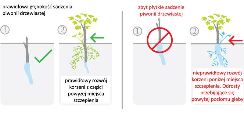 sadzenie_piwoni_drzewiastej_3