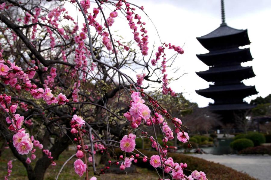 Kwitnące wiśnie ozdobne
