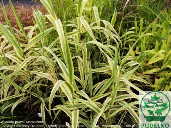 arundo-aureovariegata