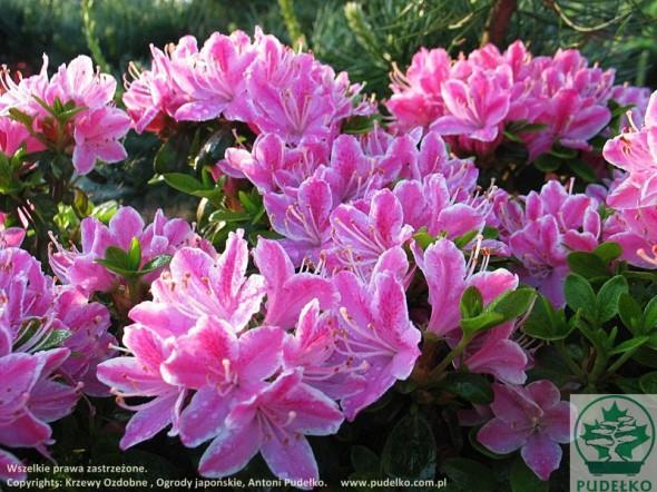 azalia-kermesina-rosea