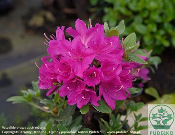 azalia-purpurtraum