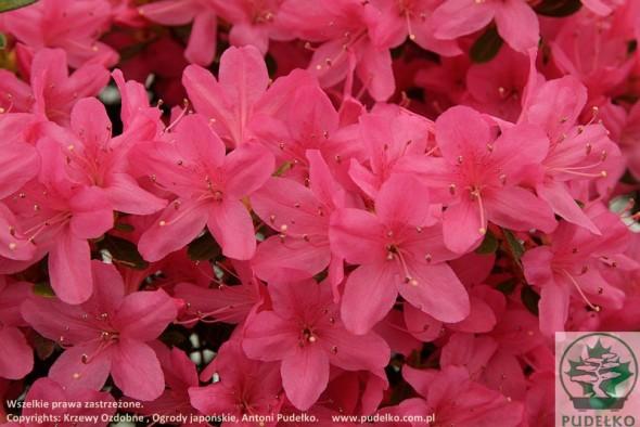 azalia-rosalind