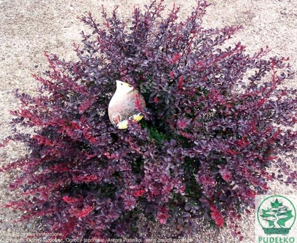 berberys-atropurpurea-nana