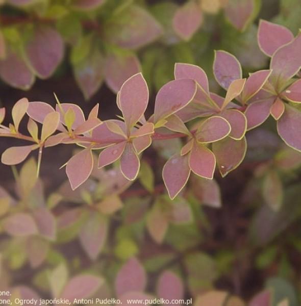 berberys-coronita
