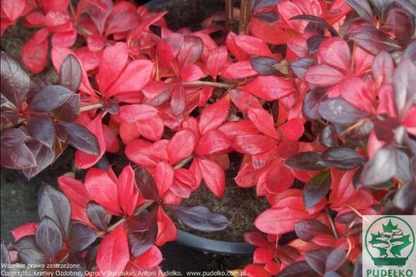 berberys-red-jewel