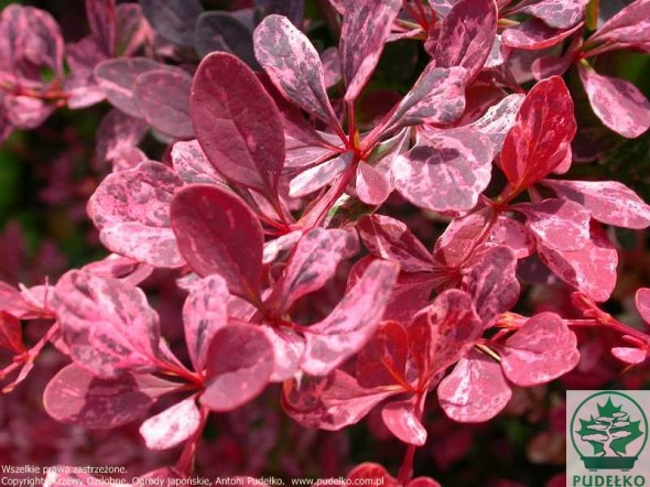 berberys-rose-glow