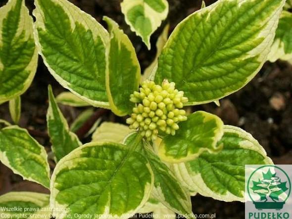 deren-sibisica-variegata