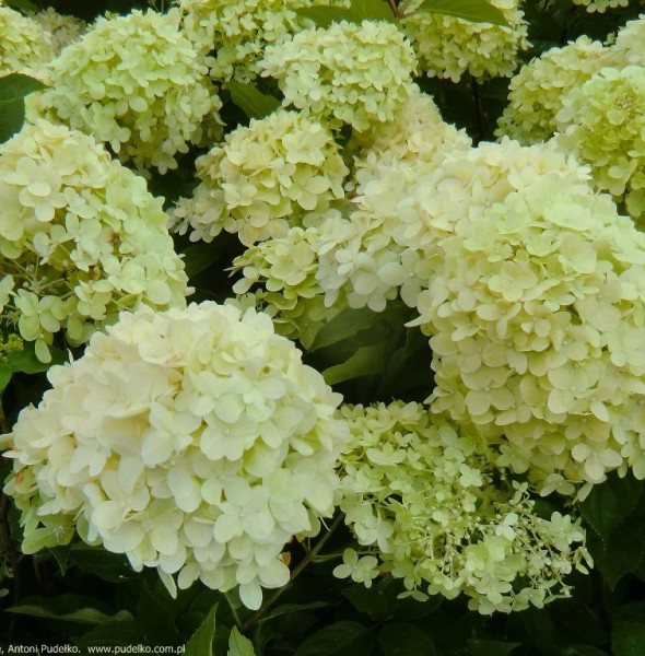 hortensja-little-lime-5-medium
