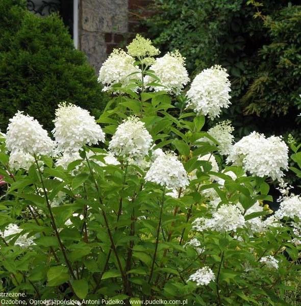 hortensja-grandiflora