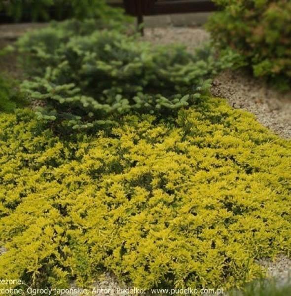 jalowiec-golden-carpet