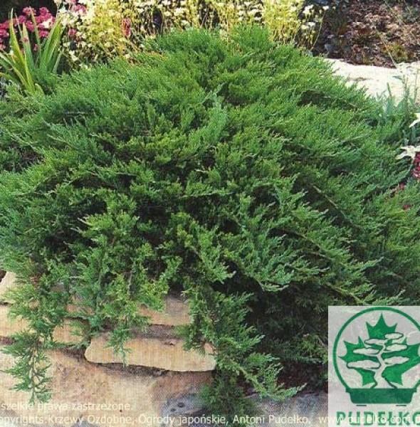 jalowiec-tamariscifolia