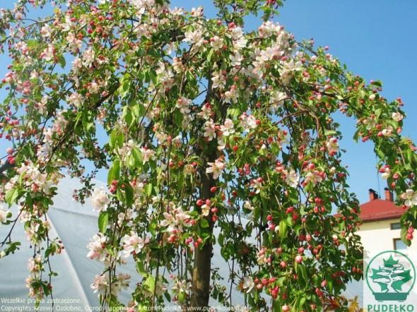 jablon-red-jade