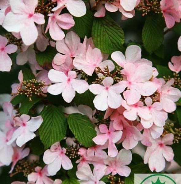kalina-pink-beauty