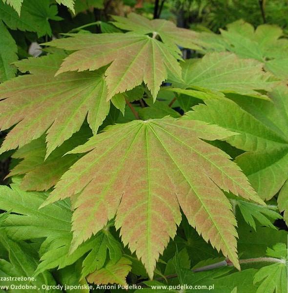 klon-japonski-vitifolium