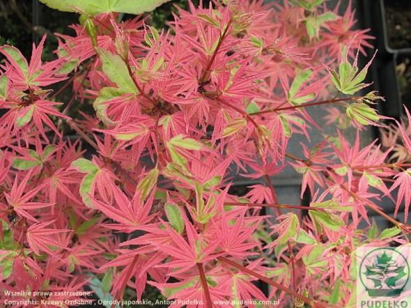 klon-palmowy-beni-shishihenge-2
