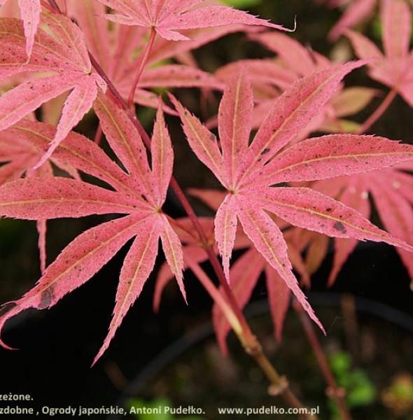 klon-palmowy-geisha