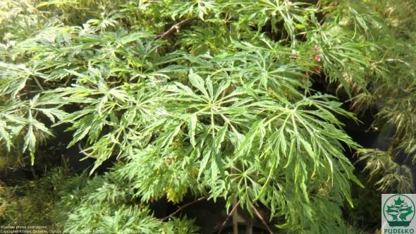 klon_palmowy_green_cascade-medium