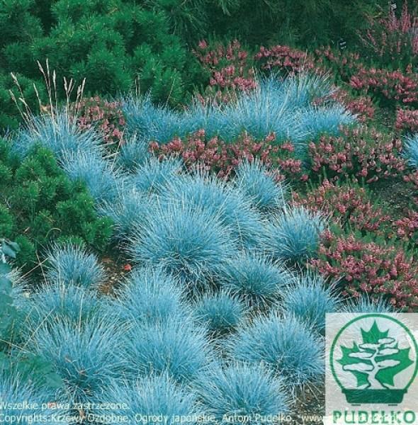 kostrzewa-elijah-blue