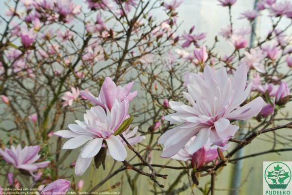 magnolia-chrysantemiflora