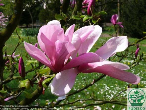 magnolia-galaxy