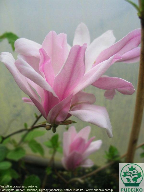 pude ko szk ka krzew w ozdobnych pisarzowice magnolia. Black Bedroom Furniture Sets. Home Design Ideas