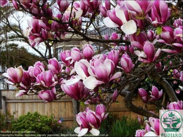 magnolia-rustica-rubra