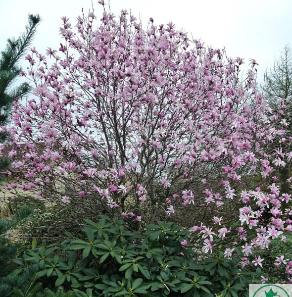 magnolia-gwiezdzista-rosea