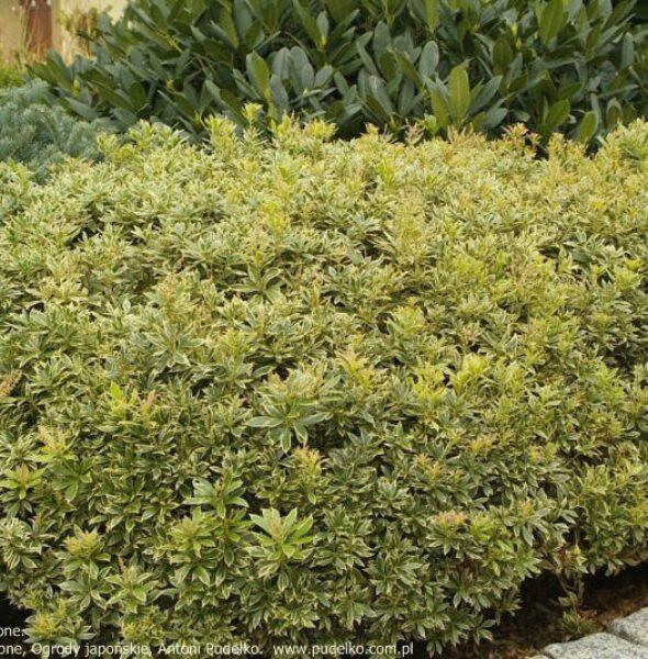 pieris-variegata