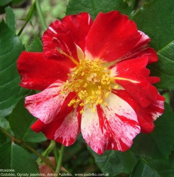 roza-hanabi