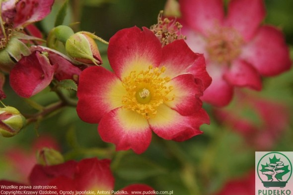 roza-star-profusion