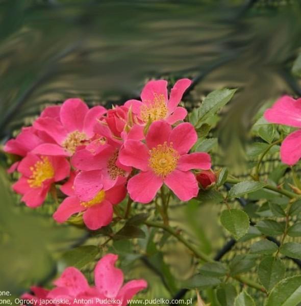 roza-tomelisa