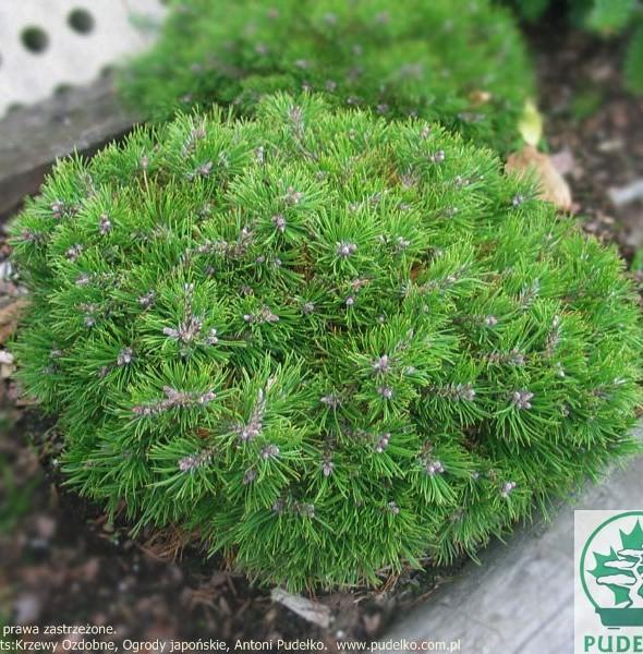 sosna-grune-welle