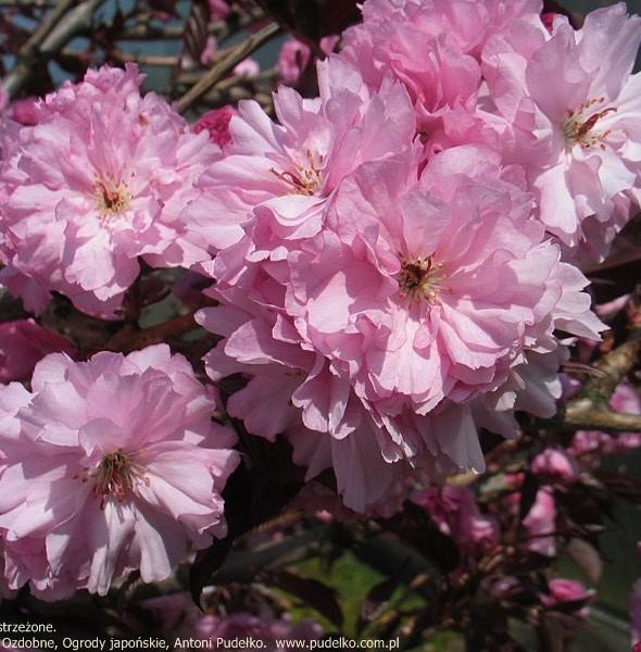 wisnia-pilkowana-royal-burgundy
