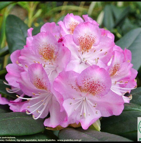 rhododendron_kazimierz_odnowiciel_szkolka_pudelko-medium