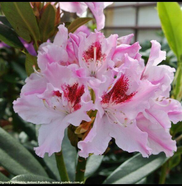 rhododendron_krolowa_jadwiga_szkolka_pudelko-medium