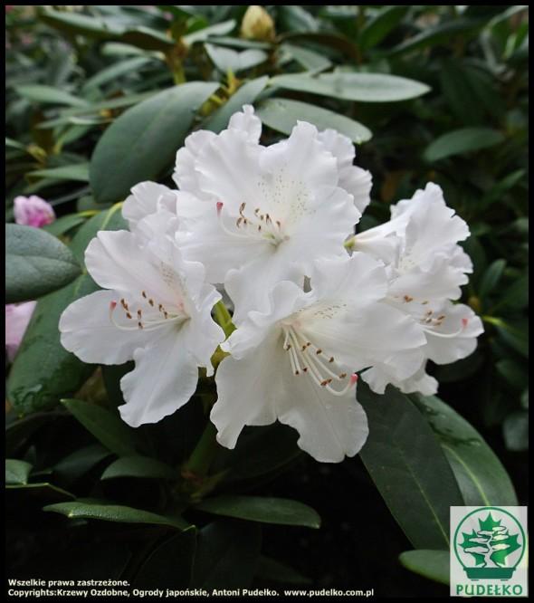 rhododendron_schneekrone_szkolka_antoni_pudelko-medium
